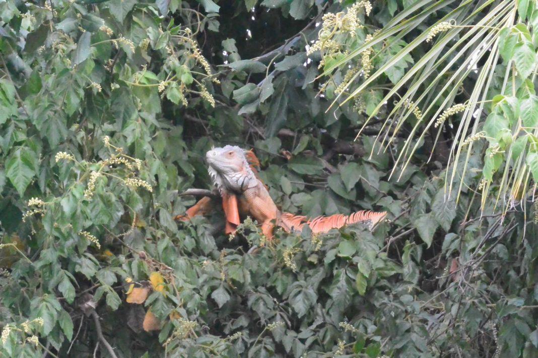 Iguana Dinosaur